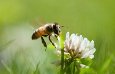 זו הסיבה שליוניליוור כל כך אכפת מדבורים